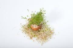 Fresh Alfalfa Sprouts Royalty Free Stock Photos