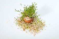 Fresh Alfalfa Sprouts Royalty Free Stock Image