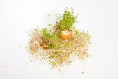Fresh Alfalfa Sprouts Stock Photo