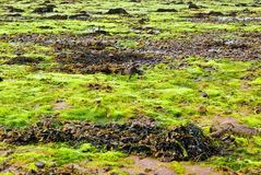 Fresh algae Royalty Free Stock Images
