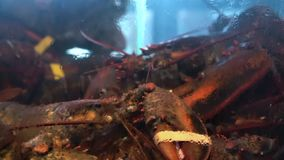Fresh alive Canadian lobster in restaurant tank stock video footage