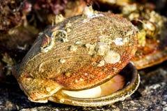 Fresh alive Icelandic scallops Chlamys islandica on the coast of Barents sea, Arctic ocean royalty free stock image