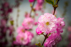 Fresh almond blossom in the spring Stock Image