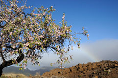 Fresh almond flowers and blue sky Stock Photography