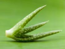 Fresh aloe leaf w. Ith water drop Stock Image