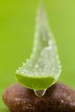 Fresh aloe leaf  . Fresh aloe leaf with water drop Stock Image