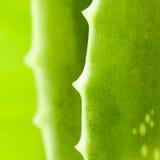 Fresh aloe leaf . Fresh aloe leaf with water drop Stock Photos