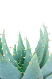 Fresh aloe plant. Macro Royalty Free Stock Images