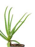 Fresh aloe vera herb Royalty Free Stock Photo