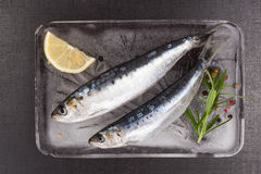 Fresh anchovy fish on ice. Royalty Free Stock Image