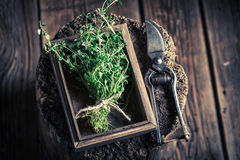 Free Fresh And Aromatic Thyme With Old Garden Pruning Scissors Stock Photos - 88360403
