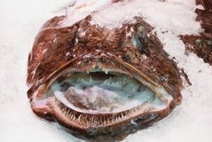 Fresh angler lophius monkfish on ice at fish market. Fresh angler lophius monkfish on ice at fish market Royalty Free Stock Photos