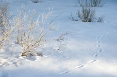 Branches of bushes covered with frost on a sunny winter morning. Frozen bushes on a frosty morning. Footprints in the deep snow as. Fresh animal tracks on a royalty free stock photography