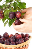 Fresh appetizing plums Stock Images