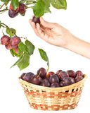 Fresh appetizing plums Stock Image