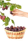 Fresh appetizing plums Royalty Free Stock Photography