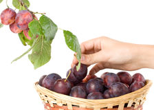 Fresh appetizing plums Stock Photography