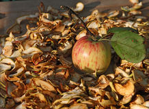 Fresh apple(with branch and leaf) and sliced dried pieces Stock Images