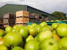 Fresh apple crop Royalty Free Stock Photography