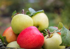 Fresh apple crop outdoors Royalty Free Stock Photography