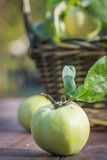Fresh apple crop outdoors Stock Images