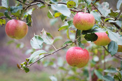 Fresh apple crop outdoors Royalty Free Stock Photos