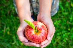 Fresh red apple fruit in hand. love nature royalty free stock photo