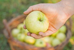 Fresh apple in the hand. Fresh apple in the young woman's hand Royalty Free Stock Image