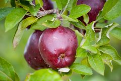Fresh Apple still on Trees Royalty Free Stock Photos