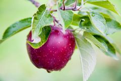 Fresh Apple still on Trees Royalty Free Stock Photography