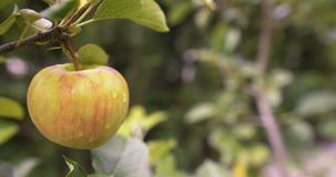 Fresh apple on a tree branch. Juicy red apple on a tree branch, agriculture fresh food production stock footage