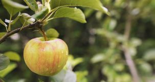 Fresh apple on a tree branch. Juicy red apple on a tree branch, agriculture fresh food production stock video
