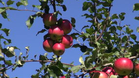 Fresh apples on autumn tree branch. Fresh apple harvest on autumn tree branch stock video