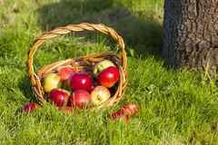 Fresh apples in a basket Stock Image