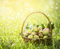 Fresh apples in the basket on the green grass and natural background, close up. Fresh apples the basket on the green grass and natural background, close up royalty free stock photos