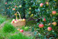 Fresh apples in a basket Royalty Free Stock Photography
