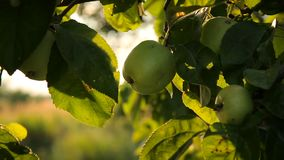 Fresh apples on a branch in the garden stock footage