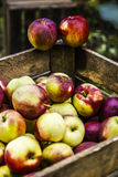 Fresh apples in chest. Chest full of polish treasure - apples, autumn royalty free stock photography