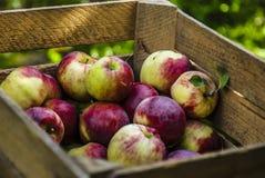 Fresh apples in chest. Chest full of polish treasure - apples, autumn Stock Images