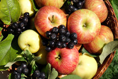 Fresh apples and chokeberry Stock Photos