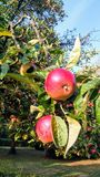 Fresh Apples at Cranfield University Campus, England. Evening walk capture. Sweet , delicious, fresh, dark red apples in apple trees located at Cranfield royalty free stock photography