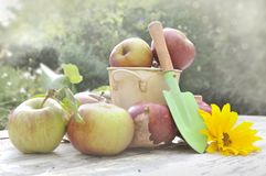 Harvest of apples Stock Photography
