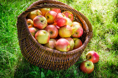 Fresh apples in garden Royalty Free Stock Photos
