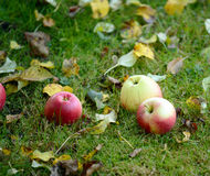 Fresh apples on grass stock image