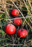 Fresh apples in a grass Royalty Free Stock Photos