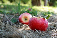 Fresh apples in orchard Royalty Free Stock Images