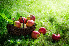 Fresh apples in sunny day Stock Photography