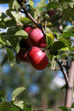 Fresh apples on tree Stock Photography
