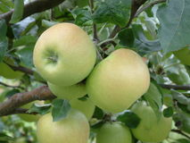 Fresh apples on a tree Stock Image