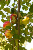 Fresh apples on the tree in a apple orchard. Stock Photos